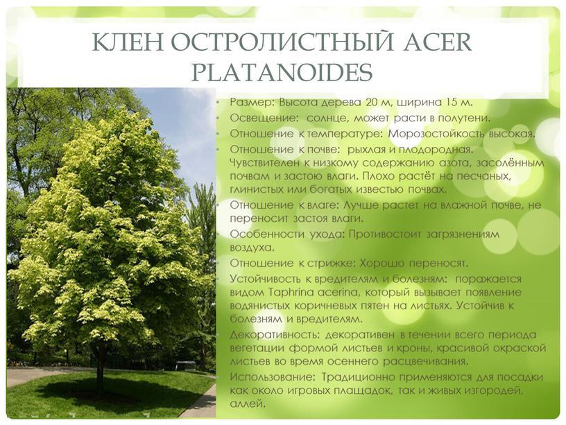 Клен остролистный Acer platanoides