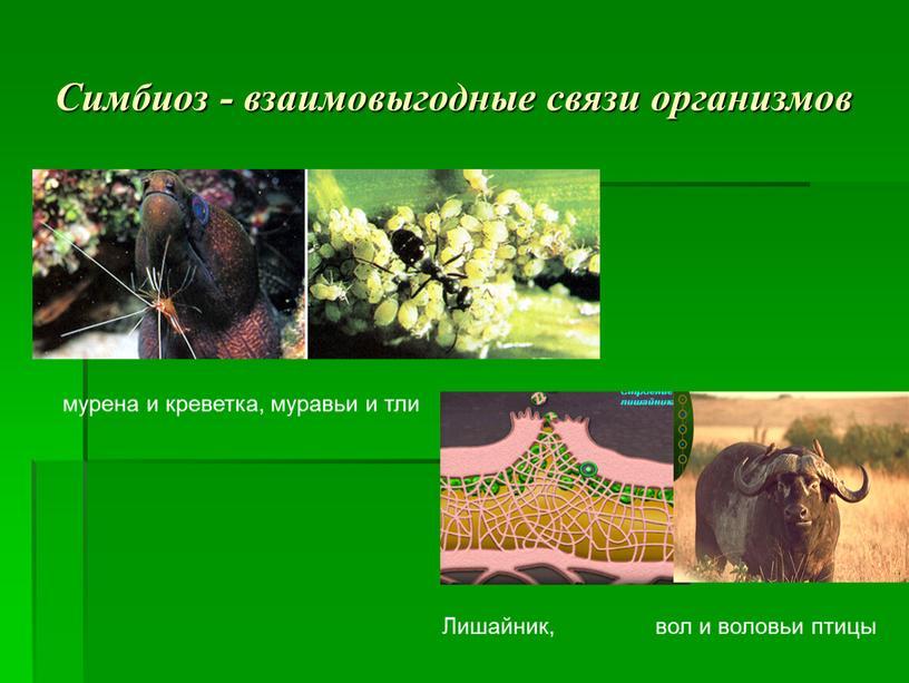 Симбиоз - взаимовыгодные связи организмов мурена и креветка, муравьи и тли