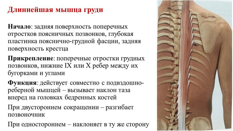 Длиннейшая мышца груди Начало : задняя поверхность поперечных отростков поясничных позвонков, глубокая пластинка пояснично-грудной фасции, задняя поверхность крестца