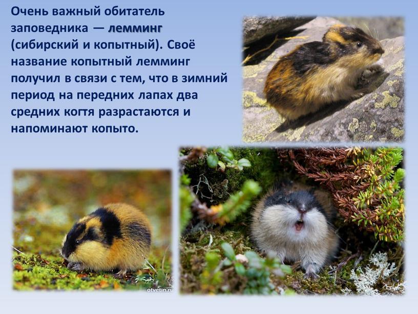Очень важный обитатель заповедника — лемминг (сибирский и копытный)