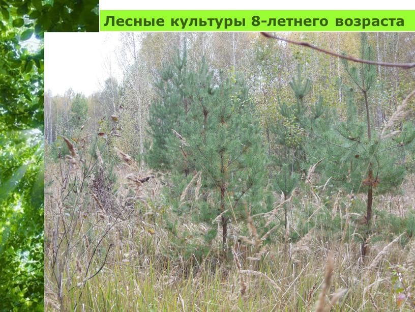 Лесные культуры 8-летнего возраста