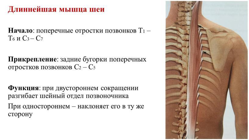 Длиннейшая мышца шеи Начало : поперечные отростки позвонков