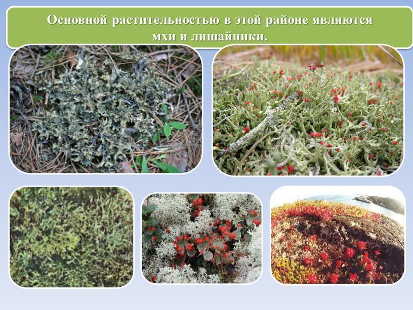 Основной растительностью в этой районе являются мхи и лишайники