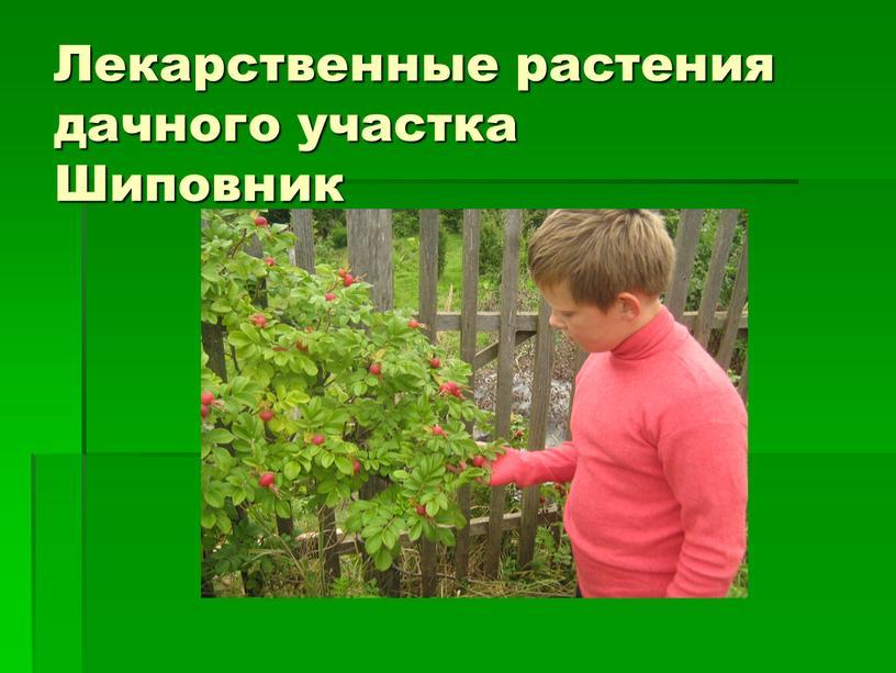 Лекарственные растения дачного участка