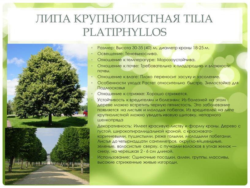 Липа крупнолистная Tilia platiphyllos