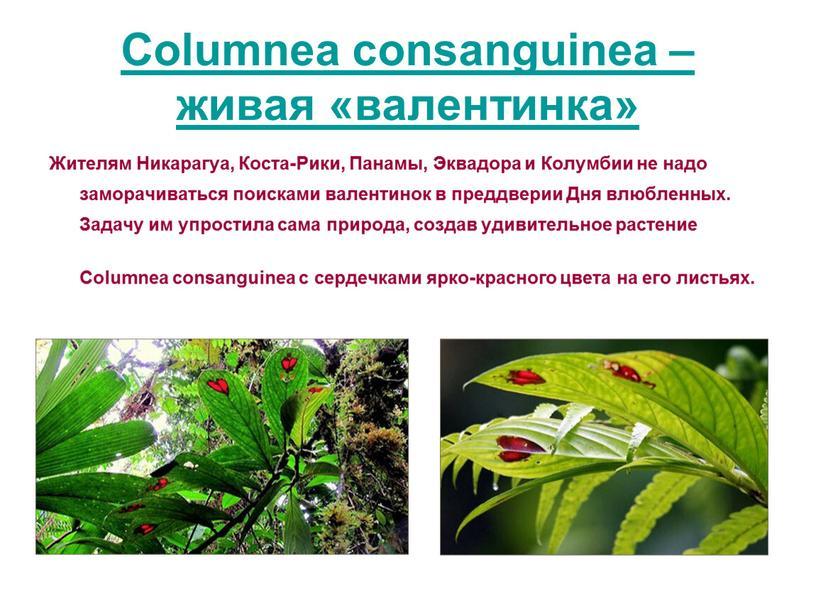 Columnea consanguinea – живая «валентинка»