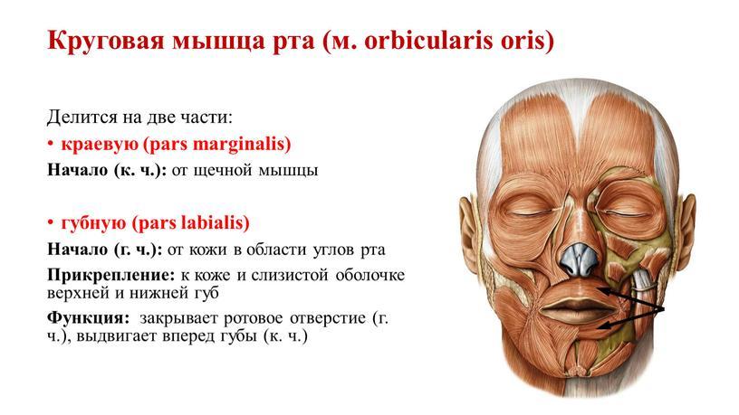 Круговая мышца рта (м. orbicularis oris)