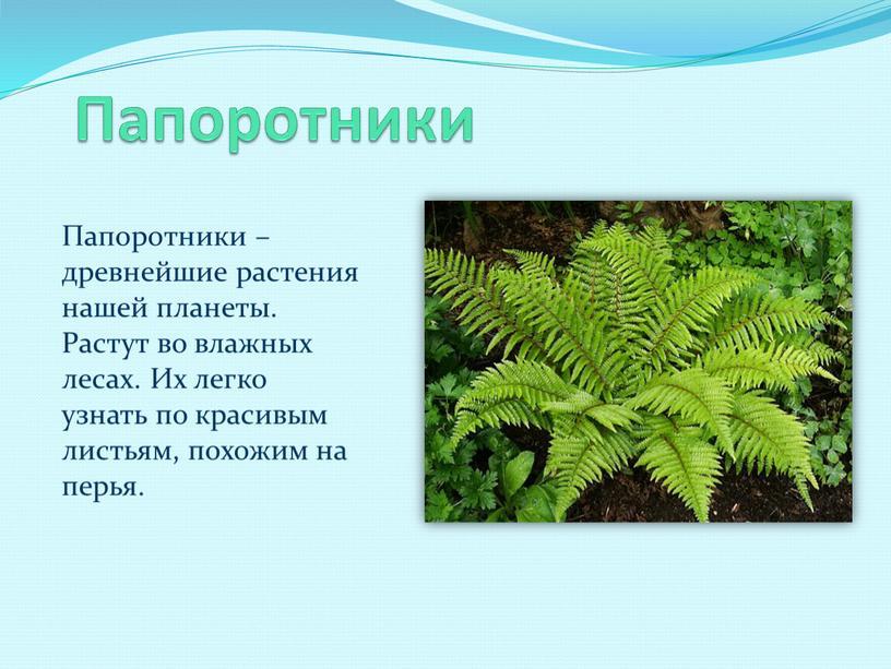 Папоротники Папоротники – древнейшие растения нашей планеты