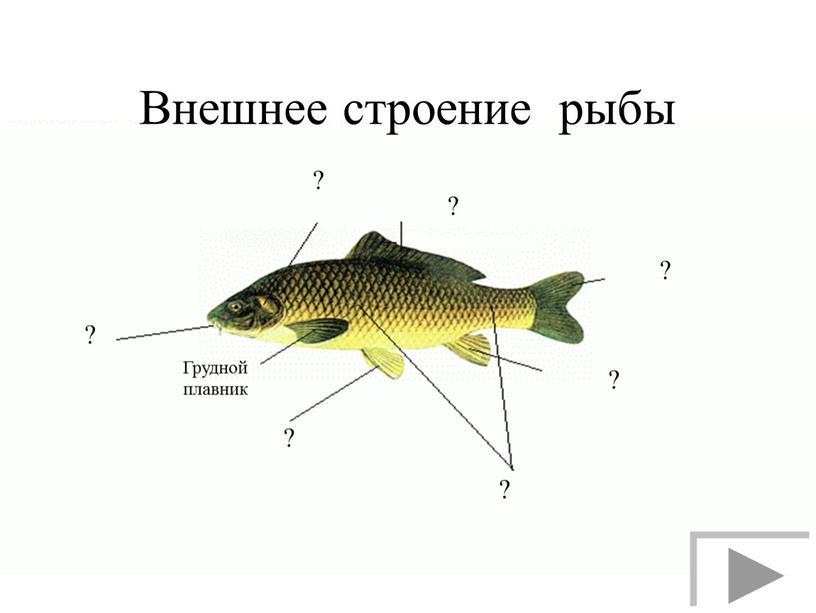 Внешнее строение рыбы ? ? Грудной плавник ? ? ? ? ?