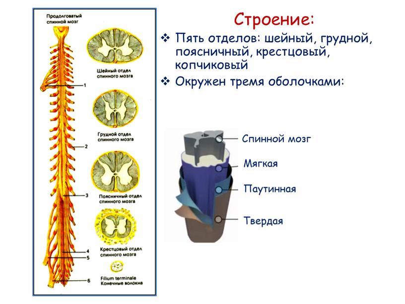 Строение: Пять отделов: шейный, грудной, поясничный, крестцовый, копчиковый
