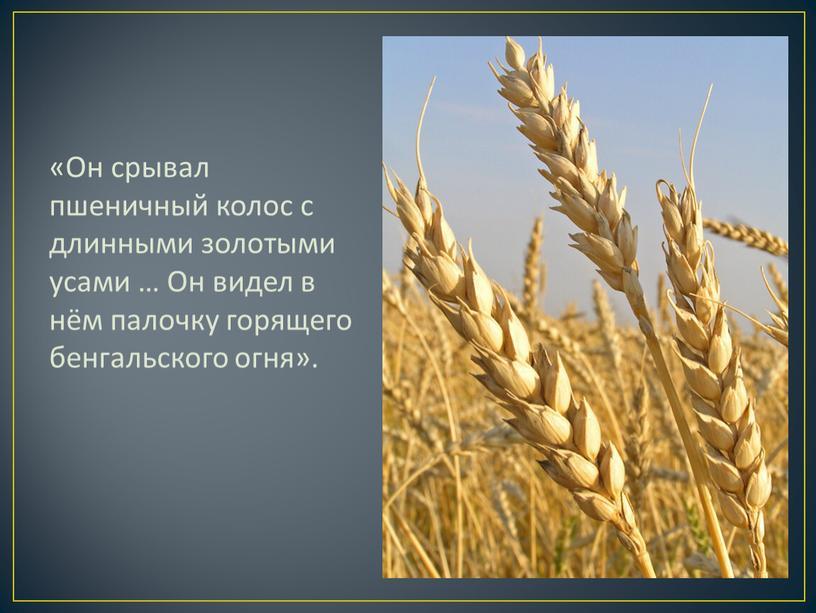 Он срывал пшеничный колос с длинными золотыми усами …