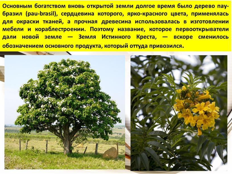 Основным богатством вновь открытой земли долгое время было дерево пау-бразил (pau-brasil), сердцевина которого, ярко-красного цвета, применялась для окраски тканей, а прочная древесина использовалась в изготовлении…