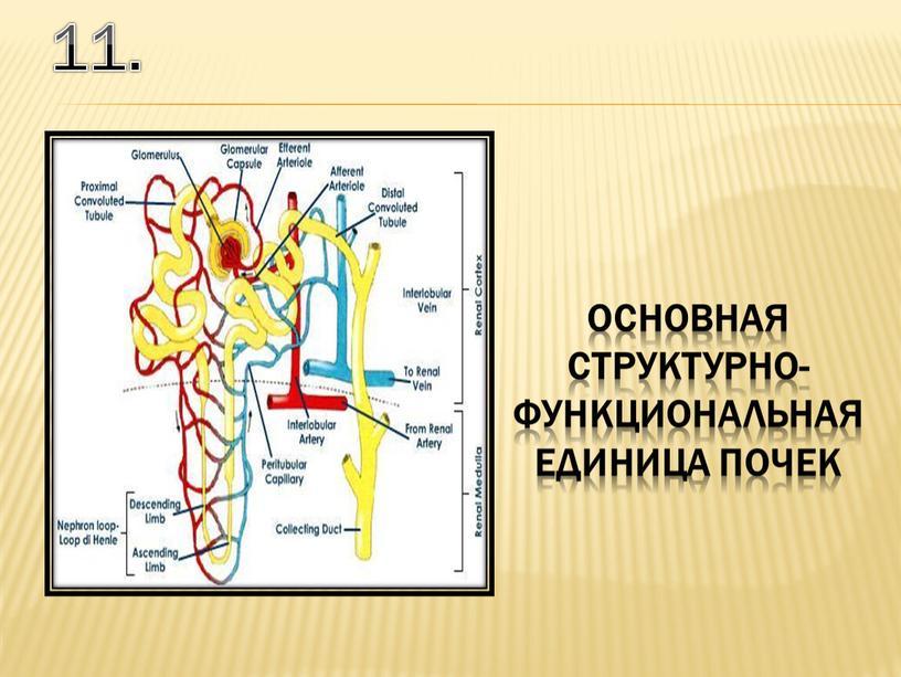 11. основная структурно-функциональная единица почек