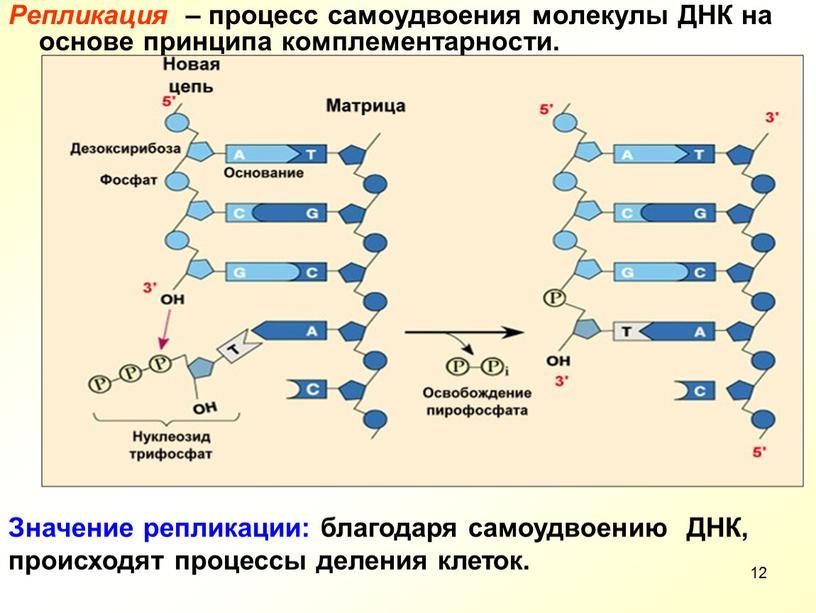 Репликация – процесс самоудвоения молекулы