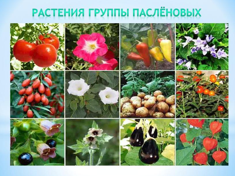 Растения группы паслёновых