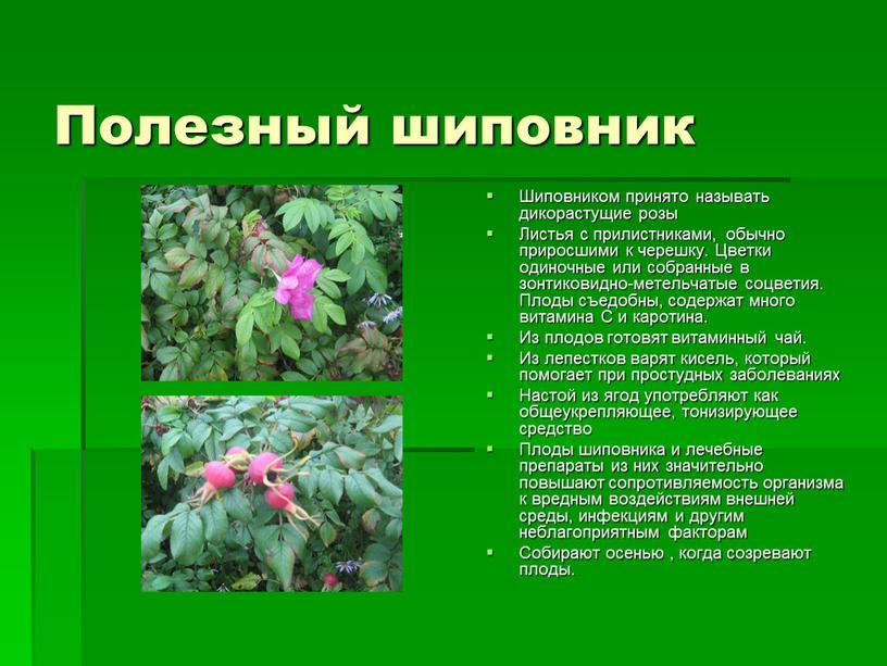 Полезный шиповник Шиповником принято называть дикорастущие розы