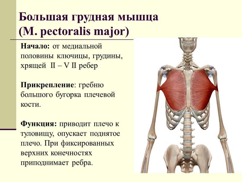 Большая грудная мышца (М. pectoralis major)
