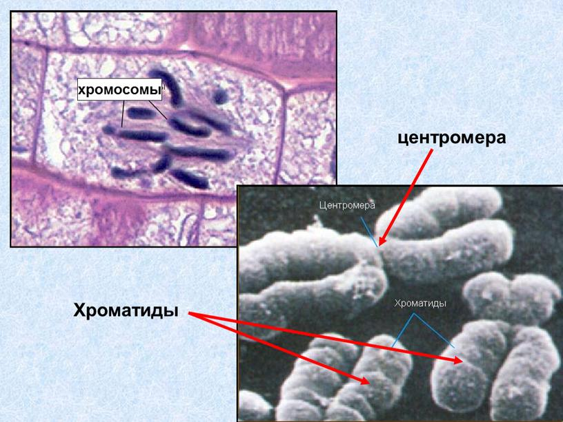 хромосомы центромера Хроматиды