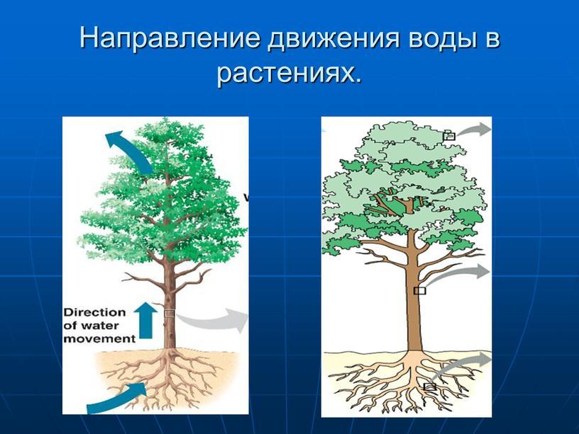 Направление движения воды в растениях