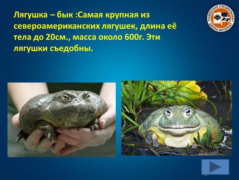 Лягушка – бык :Самая крупная из североамериканских лягушек, длина её тела до 20см