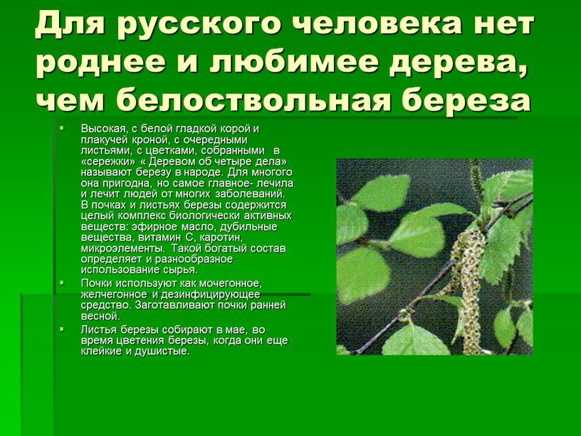Для русского человека нет роднее и любимее дерева, чем белоствольная береза