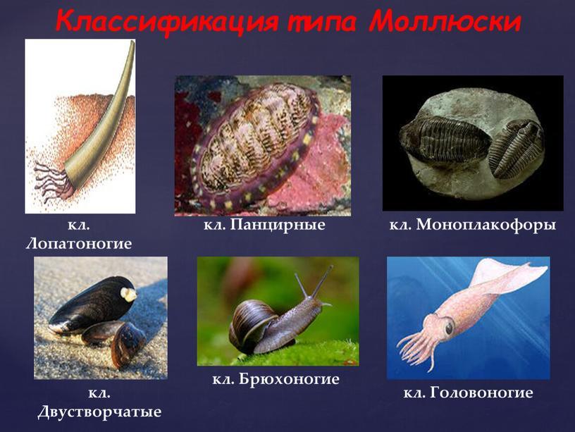 Классификация типа Моллюски кл