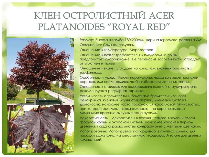 "Клен остролистный Acer platanoides ""Royal red"""