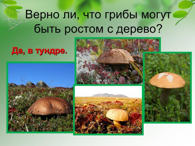 Верно ли, что грибы могут быть ростом с дерево?