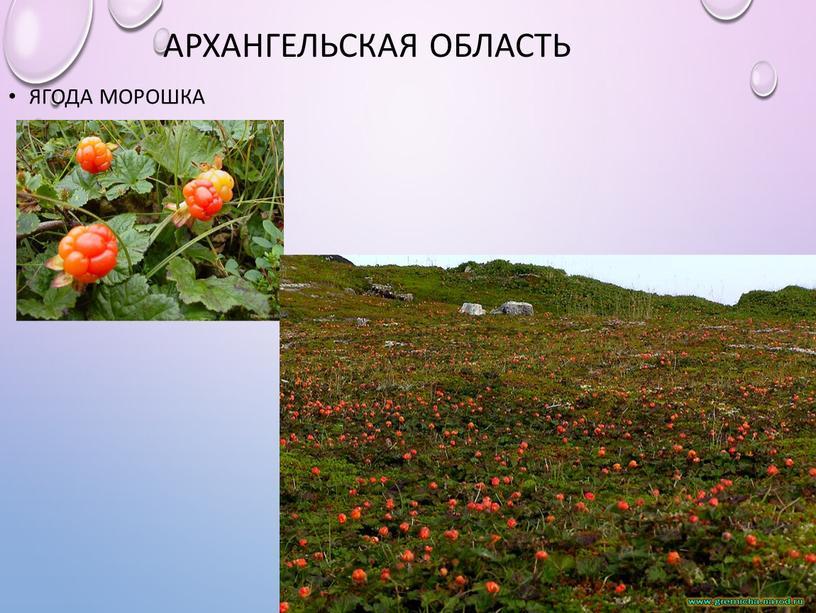 Архангельская область Ягода морошка