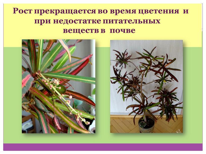 Рост прекращается во время цветения и при недостатке питательных веществ в почве