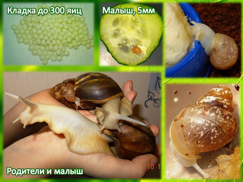 Кладка до 300 яиц Малыш, 5мм Родители и малыш