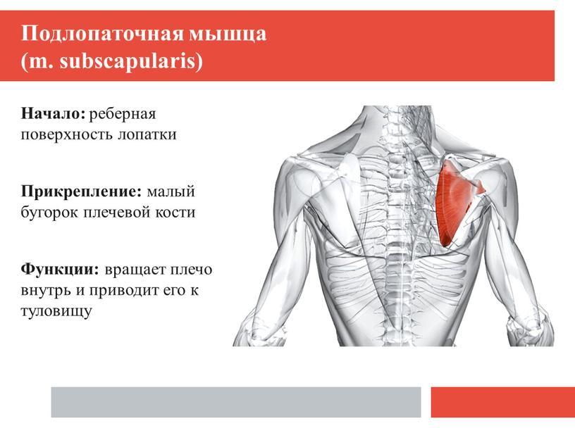 Подлопаточная мышца (m. subscapularis)