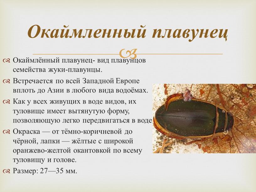 Окаймлённый плавунец- вид плавунцов семейства жуки-плавунцы