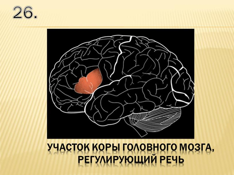 26. участок коры головного мозга, регулирующий речь