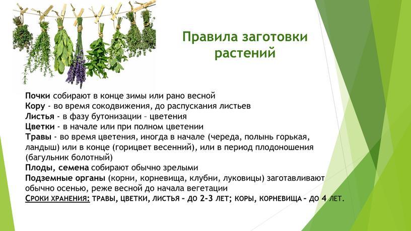 Правила заготовки растений Почки собирают в конце зимы или рано весной