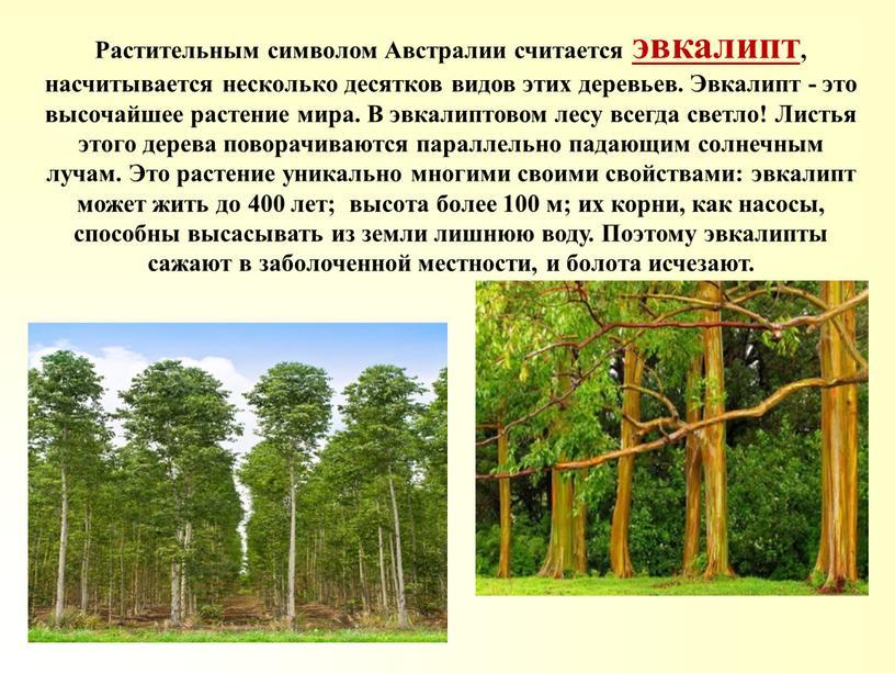 Растительным символом Австралии считается эвкалипт, насчитывается несколько десятков видов этих деревьев