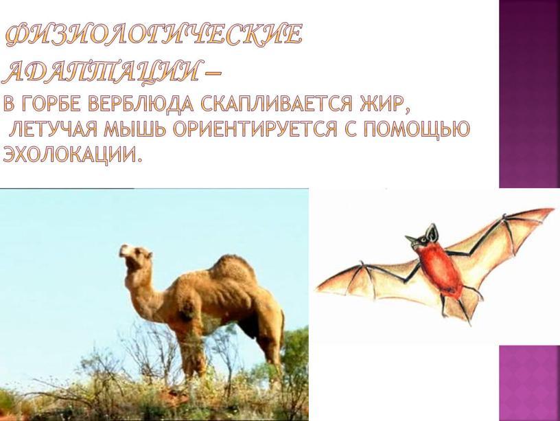 Физиологические адаптации – в горбе верблюда скапливается жир, летучая мышь ориентируется с помощью эхолокации
