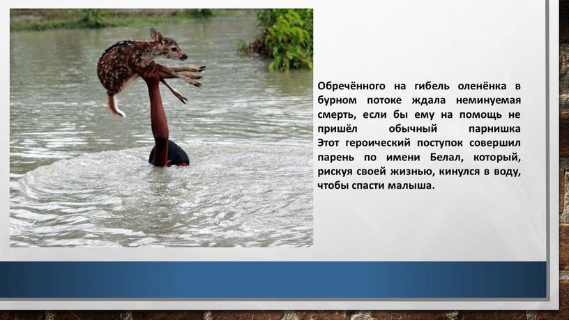 Обречённого на гибель оленёнка в бурном потоке ждала неминуемая смерть, если бы ему на помощь не пришёл обычный парнишка