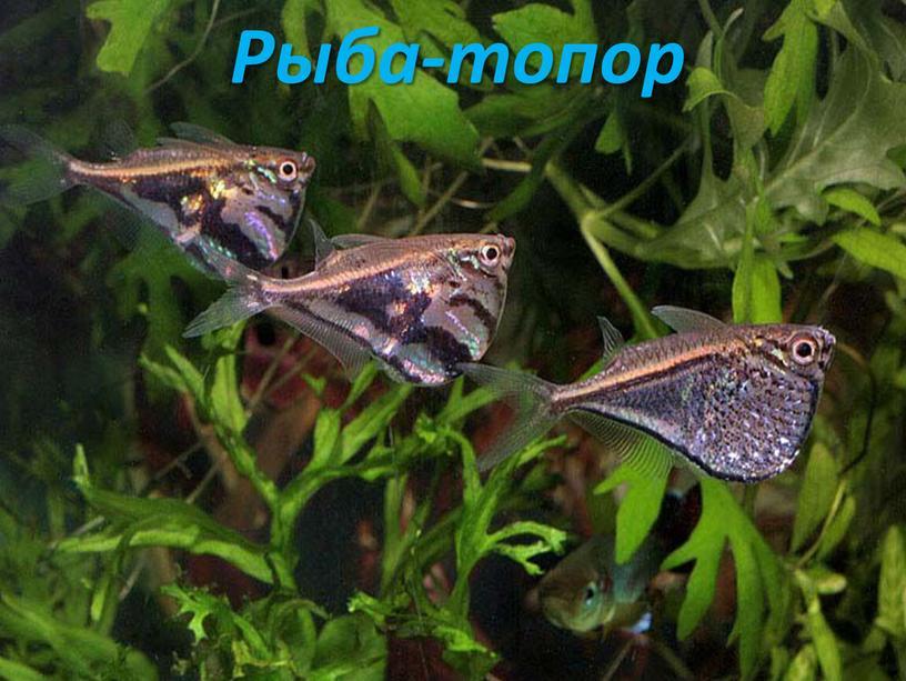 Рыба-топор