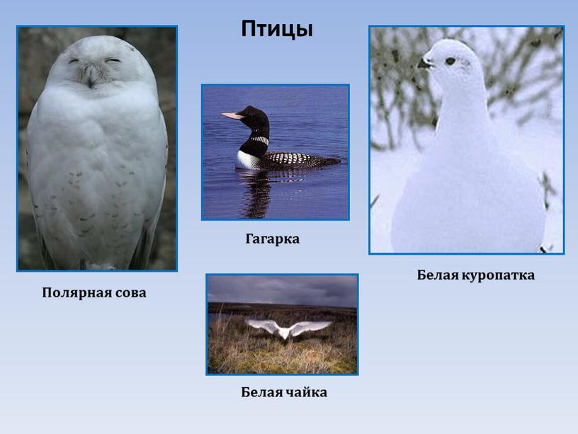Птицы Полярная сова Белая куропатка