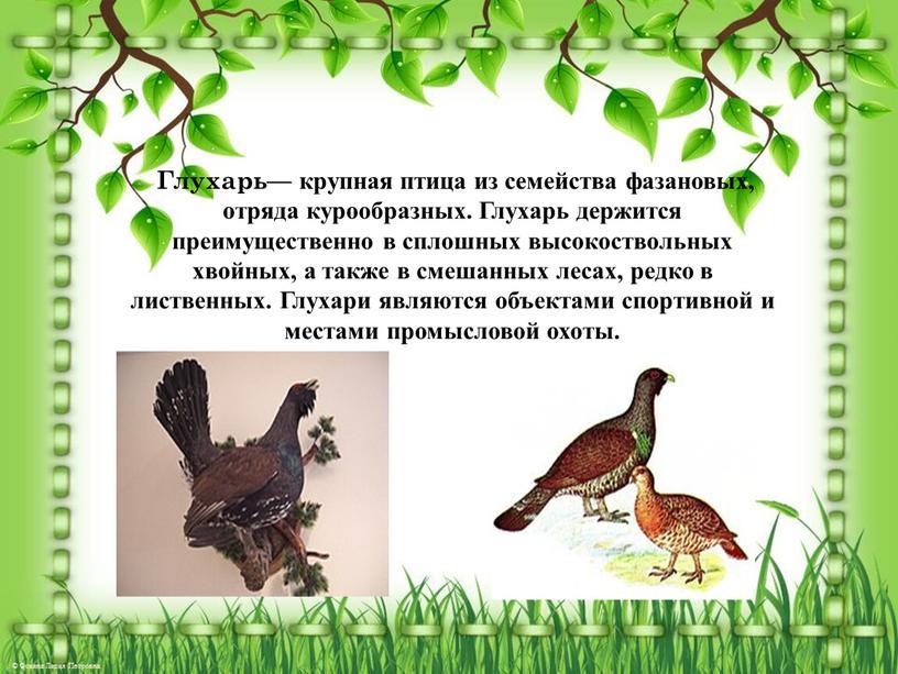 Глухарь— крупная птица из семейства фазановых, отряда курообразных