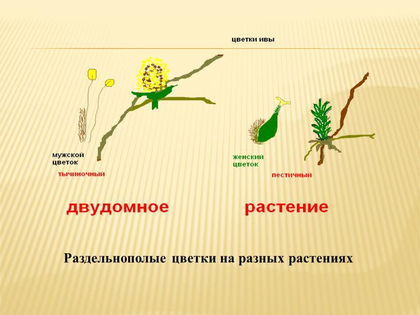 Раздельнополые цветки на разных растениях