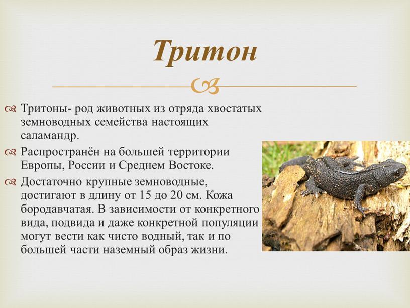 Тритоны- род животных из отряда хвостатых земноводных семейства настоящих саламандр