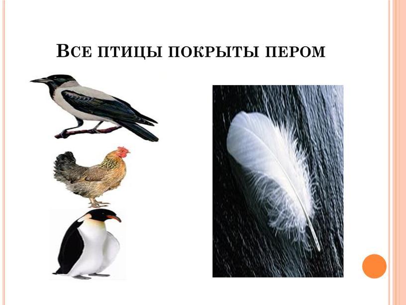 Все птицы покрыты пером