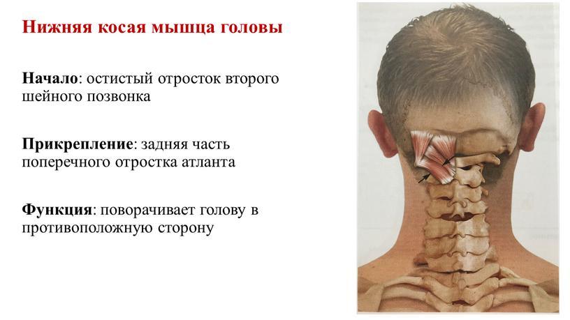 Нижняя косая мышца головы Начало : остистый отросток второго шейного позвонка