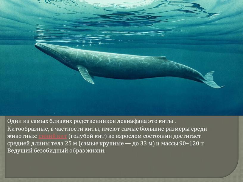 Одни из самых близких родственников левиафана это киты
