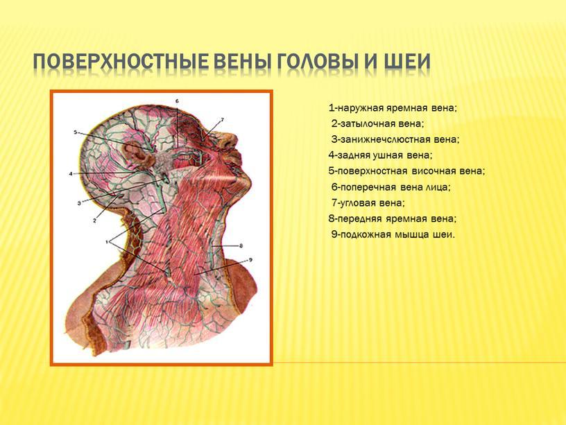 Поверхностные вены головы и шеи 1-наружная яремная вена; 2-затылочная вена; 3-занижнечслюстная вена; 4-задняя ушная вена; 5-поверхностная височная вена; 6-поперечная вена лица; 7-угловая вена; 8-передняя яремная…