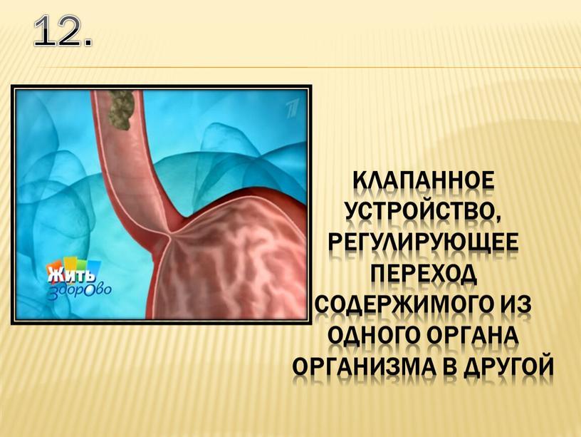 12. клапанное устройство, регулирующее переход содержимого из одного органа организма в другой