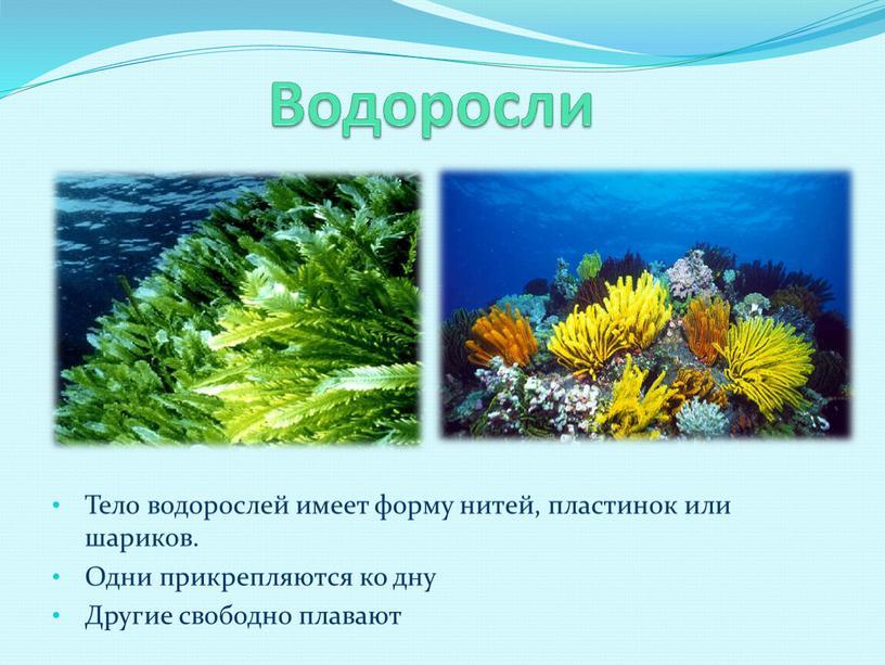 Водоросли Тело водорослей имеет форму нитей, пластинок или шариков