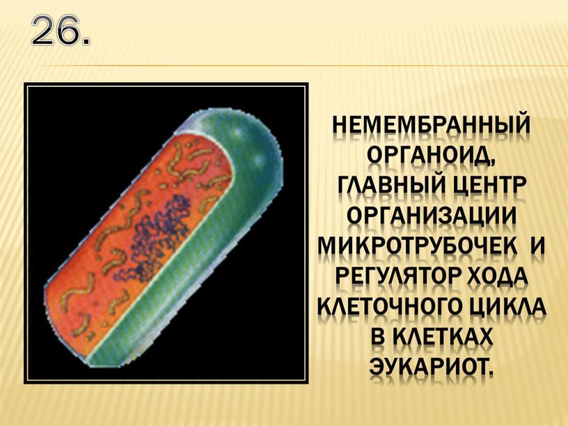 26. немембранный органоид, главный центр организации микротрубочек и регулятор хода клеточного цикла в клетках эукариот.